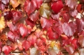 Er staan hier heel wat planten volop in de herfstkleur. Maar door het grote oppervlakte dat de wilde wingerd heeft ingenomen, valt deze toch wel extra op.