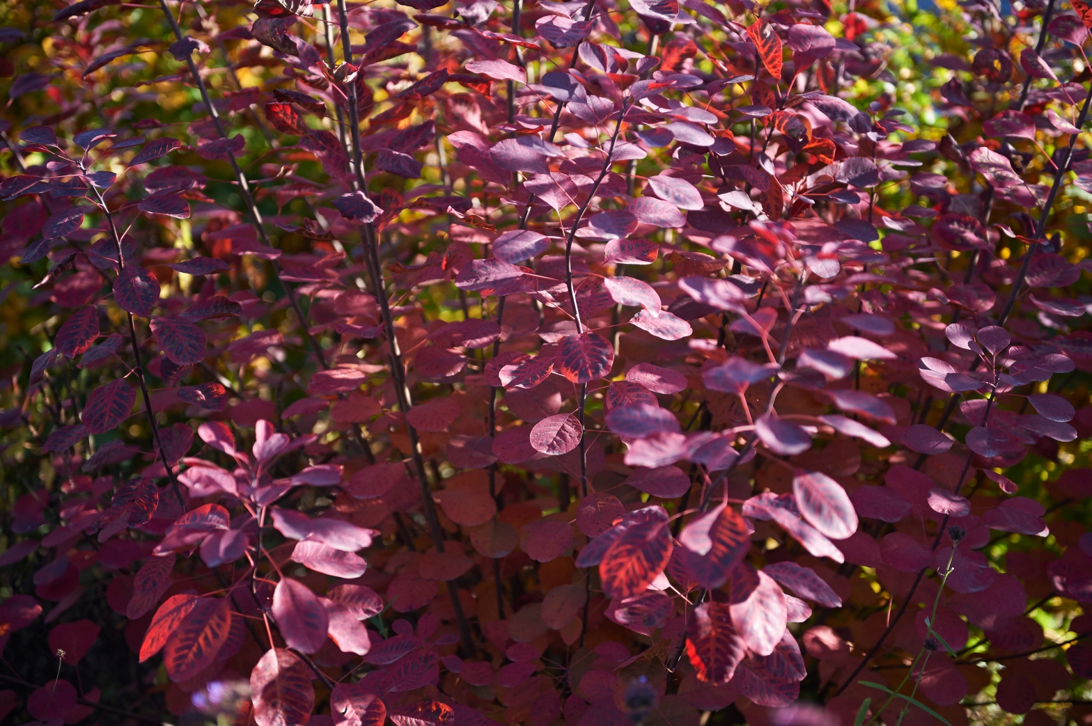Plant van de maand November: Cotinus coggygria 'Royal ...